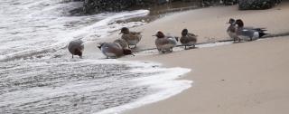 200227016 小さな川の河口で水を飲むヒドリガモ達.