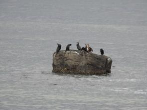 200227065 岩礁で休息中のウミウ