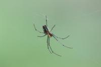 エゾアシナガグモ