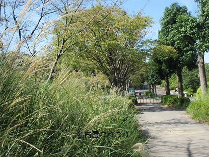 緑地のススキ