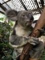 オーストラリアコアラ 名入り