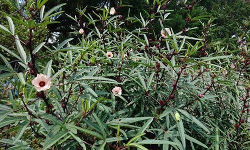 ローゼルの花2_R