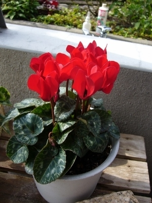 ガーデンシクラメン・赤系