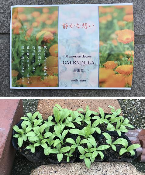 20190712金盞花