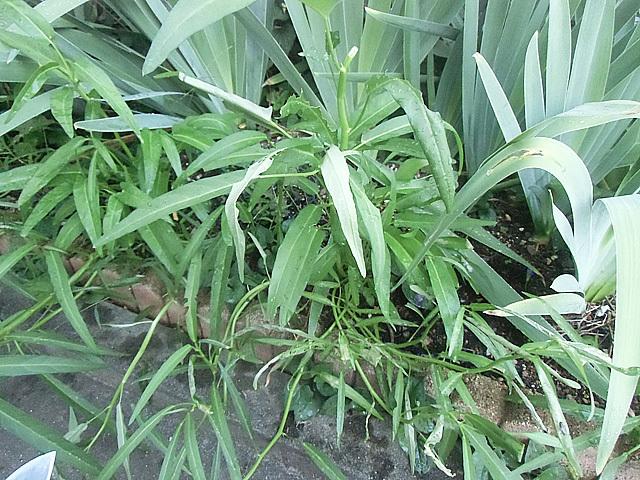 花壇位植えたクウシンサイ