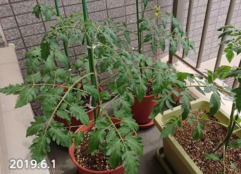 pengguin0601_tomato.jpg