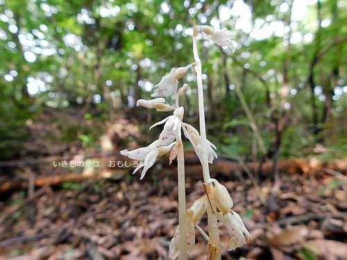 Epipogium roseum