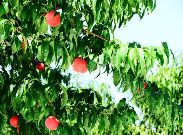 桃の木イメージ