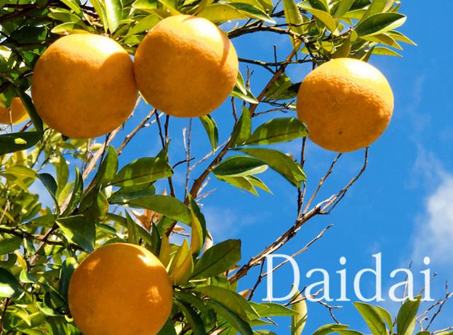 柑橘だいだいイメージ