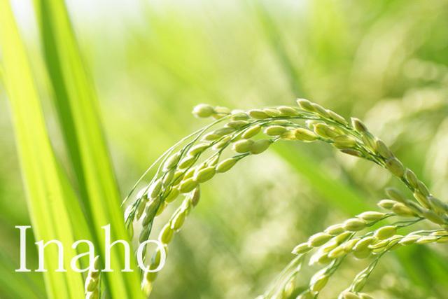 緑色の稲穂イメージ