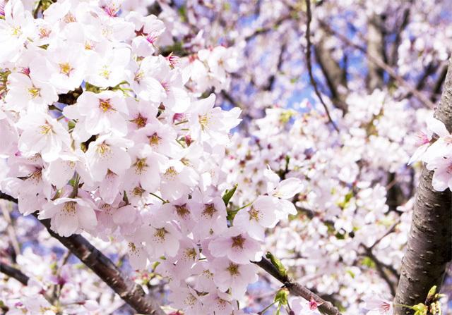 桜満開イメージ