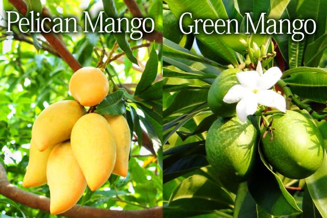 ペリカンマンゴーとグリーンマンゴーイメージ