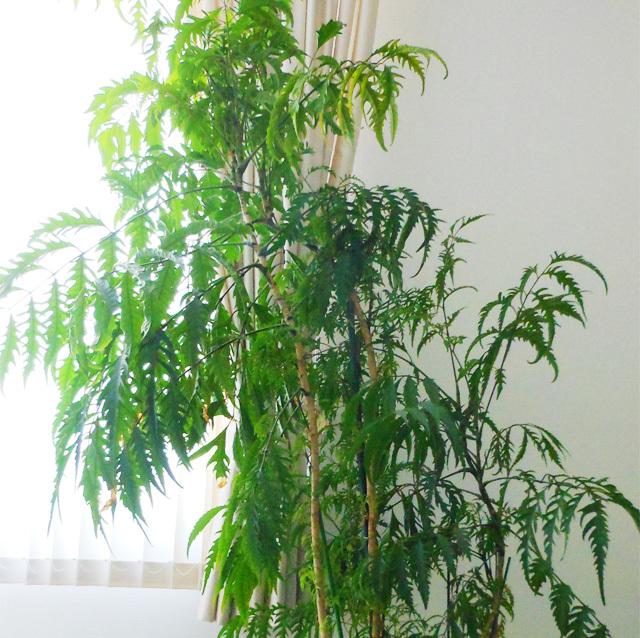 観葉植物の台湾モミジ ポリシャス フィリシフォリア