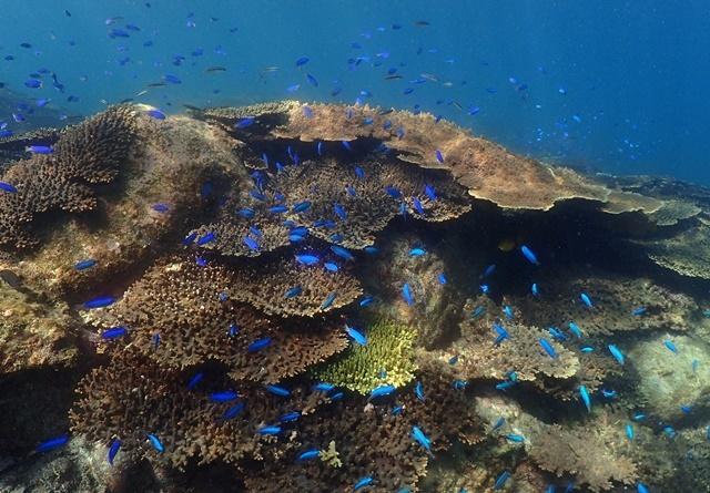 柏島サンゴとソラスズメ20190812web