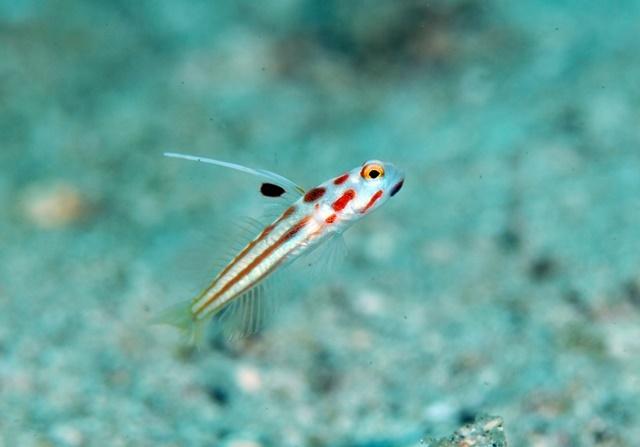 ヤシャハゼ幼魚201908121web