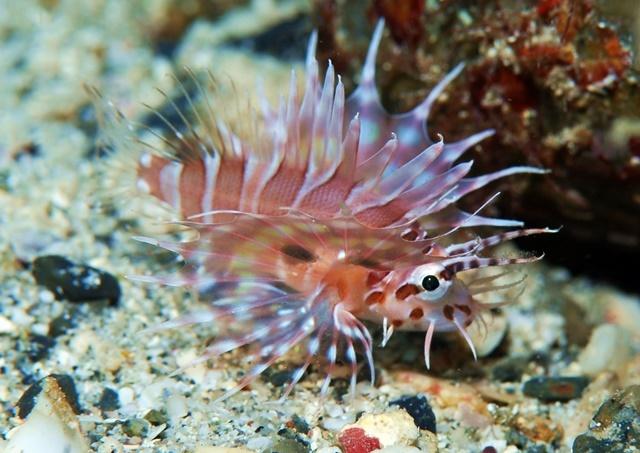 ミノカサゴ幼魚201911034web