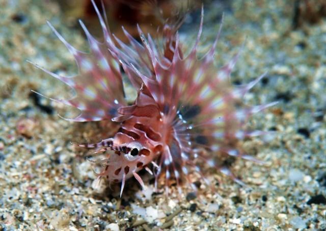ミノカサゴ幼魚201911033web
