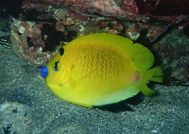 シテンヤッコ成魚20191123web