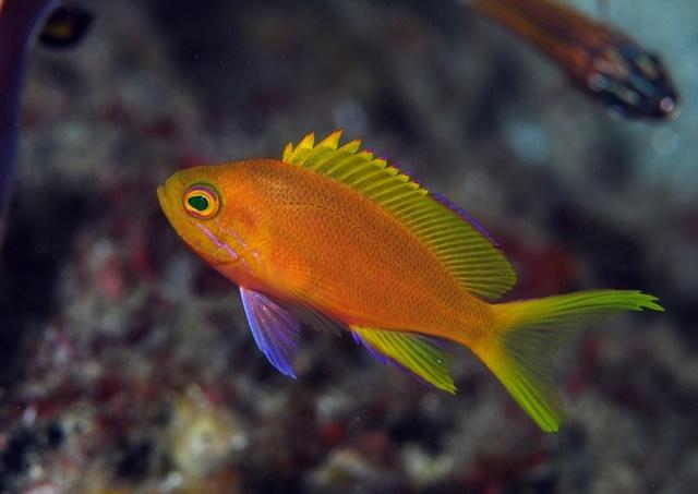 スミレナガハナダイの幼魚20191123web