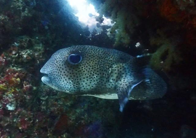 ネズミフグ大型成魚20191124web