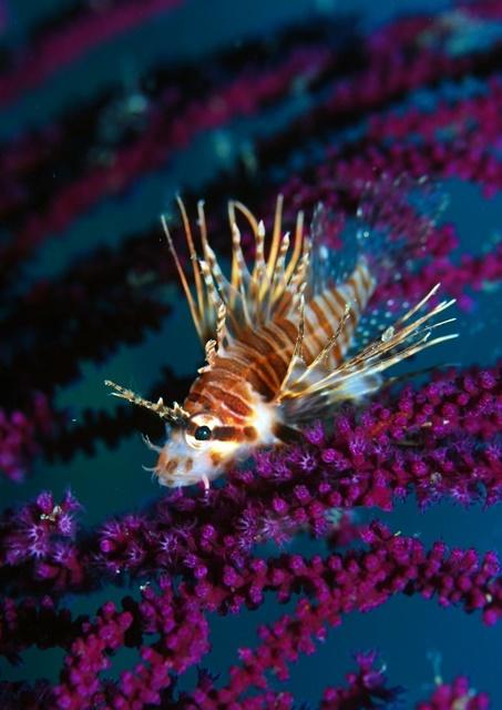 ミノカサゴ幼魚202002024web
