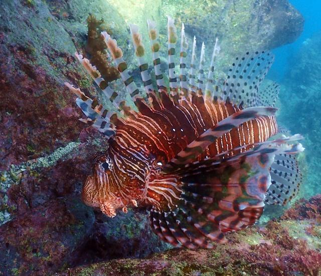 ミノカサゴ老成魚20200202web