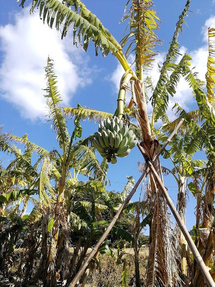 竜ヶ迫バナナ1
