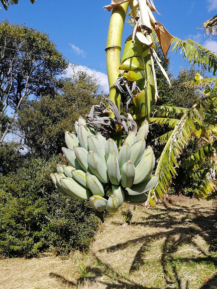 竜ヶ迫バナナ2