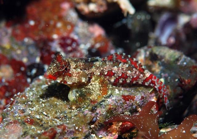 ミヤケテグリ幼魚20200215web