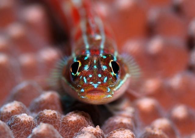 タテジマヘビギンポ正面顔202002152web