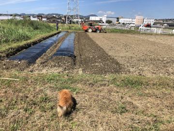 畝立てと稲刈り8