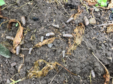 雨の後の苗植え作業5