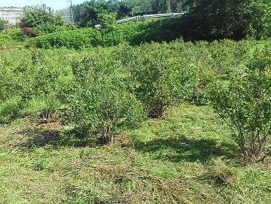 ブルーベリー畑1