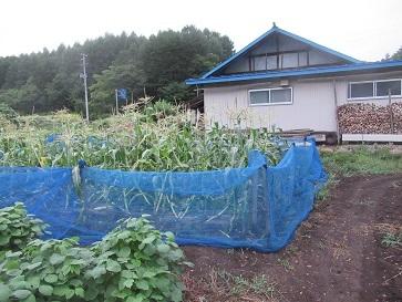 トーモロコシ畑1