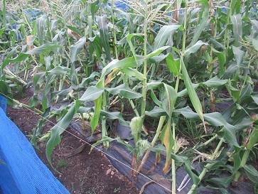 トーモロコシ畑 2