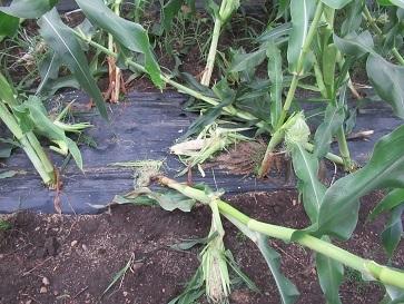 トーモロコシ畑 3