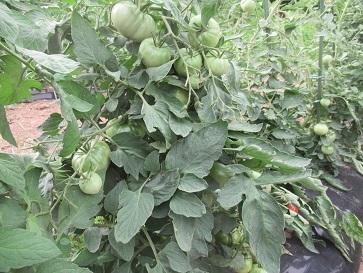 トマト大2