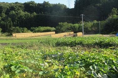 稲刈り 始まる 1