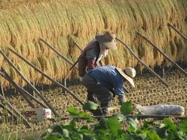 稲刈り始まる 2