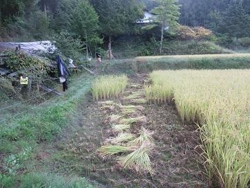 稲刈り準備 1