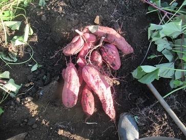 サツマイモ掘る