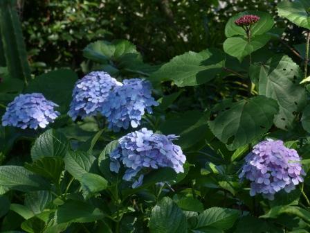 石手川緑地 紫陽花 1