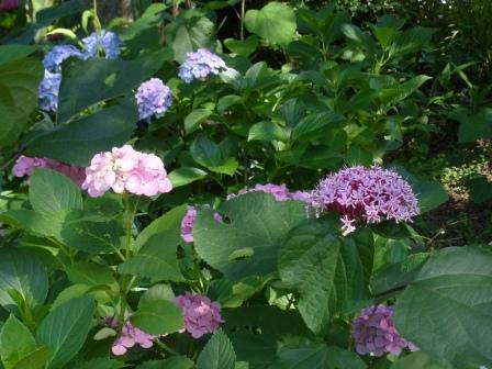 石手川緑地 ボタンクサギ & 紫陽花