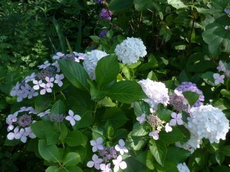 石手川緑地 紫陽花 2