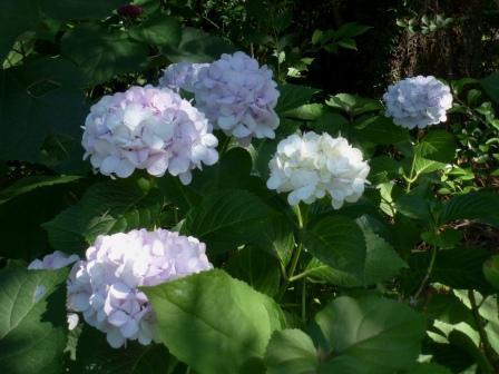 石手川緑地 紫陽花 3