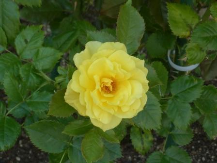 石手川緑地 バラ 1