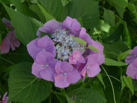 石手川緑地 紫陽花 5