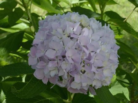 石手川緑地 紫陽花 7