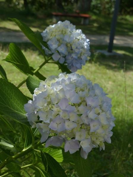 石手川緑地 紫陽花 8