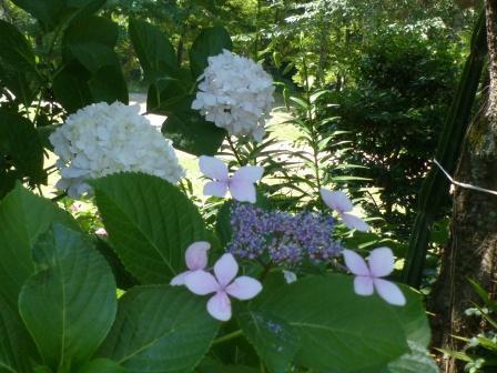 石手川緑地 紫陽花 9
